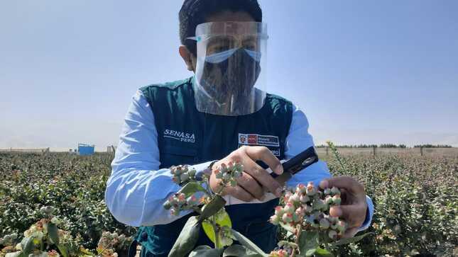 MIDAGRI: Perú iniciará exportación de arándanos a Malasia