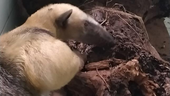 Cusco: SERFOR libera a oso hormiguero que escapó de incendio forestal