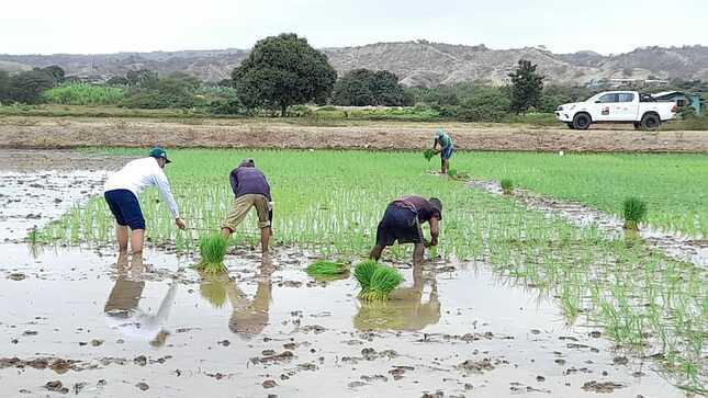 INIA instala semillas de alta calidad genética de arroz en 10 hectáreas de Tumbes