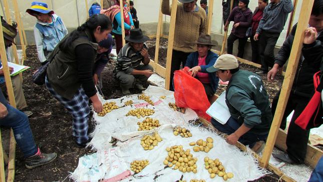 Agricultores de Huánuco aprenden técnicas innovadoras para producir semillas de papa de calidad genética