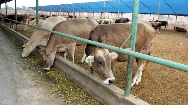Junín: Mejoramiento genético de vacunos beneficia a pequeños ganaderos organizados