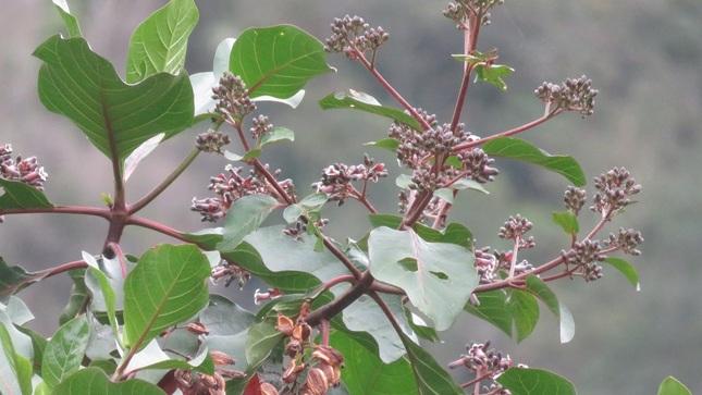 MINAGRI desarrolla nuevos plantones de árbol de la quina con propiedades para combatir enfermedades febriles