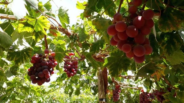 Agricultores de Locumba-Tacna incrementan producción  de uva Red Globe