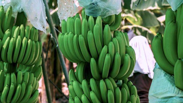 Asociación mejora rentabilidad y productividad de banano orgánico en Piura