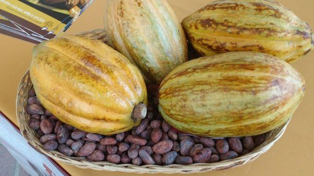 Piura: proyecto mejora productividad, calidad y comercialización de cacao para exportación