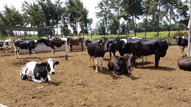 Ganaderos de Huaura mejoran calidad en la producción de leche de vaca