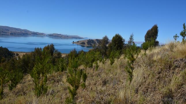 Minagri donará 10 mil árboles de pino para reforestación en el distrito de Unicachi en Puno