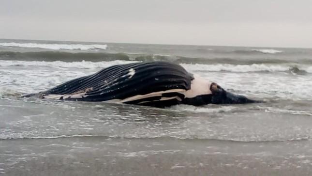 Imarpe: Reportan primer varamiento de una ballena jorobada en Puerto Eten