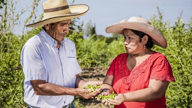 Lambayeque: productores vendieron más de 40 toneladas de frijol de palo durante la cuarentena